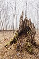 Old Stump Near Corbin Cabin nl (26954536936).jpg