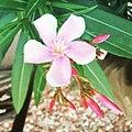 Oleander flower.jpg