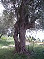 Olive tree in Crvanj.jpg