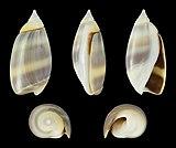 Olivella semistriata 01.jpg