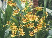 Oncidium spacelatum1.jpg