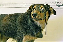 One of Pavlov's dogs with a saliva-catch container and tube surgically implanted in its muzzle, Pavlov Museum, 2005