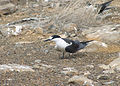 Onychoprion fuscatus Ascension Island 4.jpg