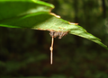 Ophiocordyceps unilateralis A.png
