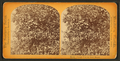 Orange tree on Stowe Estate, from Robert N. Dennis collection of stereoscopic views.png