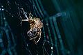 Orb Web Spider (Araneidae) (14490639889).jpg