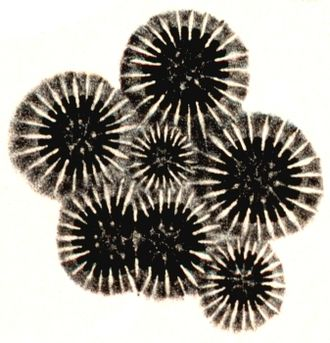 Coral - Basal plates (calices) of Orbicella annularis showing multiplication by budding (small central plate) and division (large double plate)
