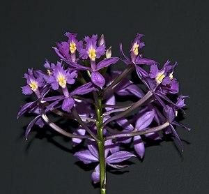 RHS Garden, Wisley - Image: Orchid (8644492525)