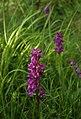 Orchids, Walls Hill - geograph.org.uk - 1303570.jpg