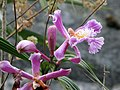 Orchids of the Inca trail (6075088261).jpg