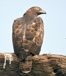 Oriental Honey Buzzard (Female)- Bharatpur I2 IMG 8242.jpg