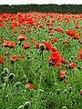 Oriental Poppies at Farm Tomita - Nakafurano - Hokkaido - Japan - 03 (48006040763).jpg
