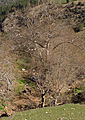 Oriental plane trees, Saimbeyli 02.JPG