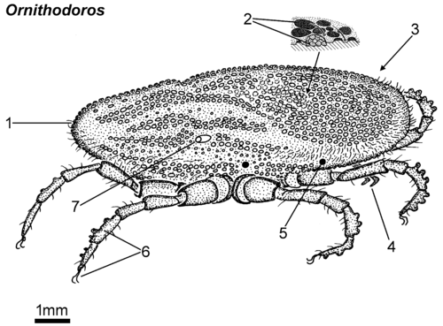 Ornithodoros adult lateral.png