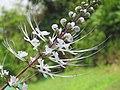 Orthosiphon aristatus flower (4).jpg