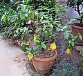 Orto botanico, fi, serra fredda, citrus medica.JPG