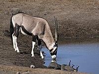 Антилопа орикс та цесарки на водопої