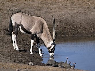 Gemsbok - A drinking gemsbok with a group of helmeted guineafowl in the foreground