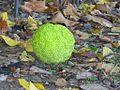 Osage Orange (2981484574).jpg