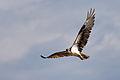 Osprey - Águila Pescadora (Pandion haliaetus carolinensis) (10485873293).jpg