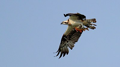 Osprey of West bengal.jpg