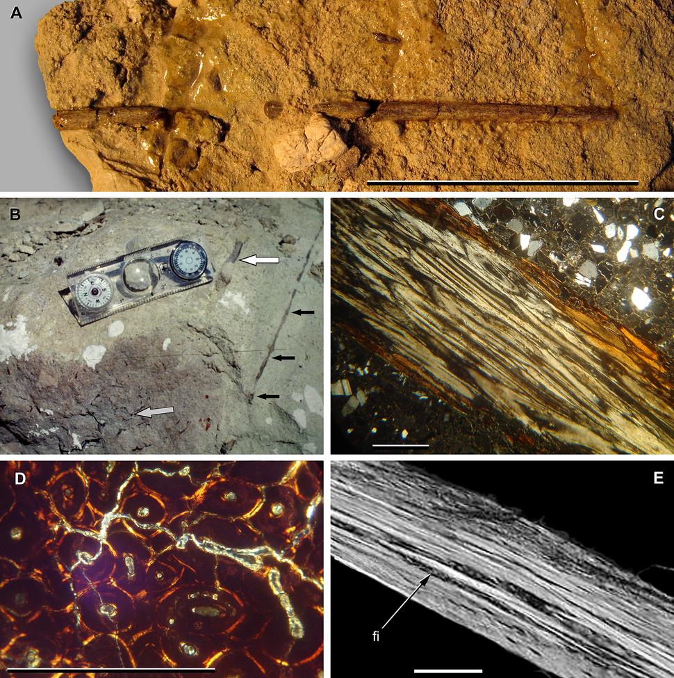 Ossified tendon of Sarmientosaurus