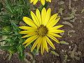 Osteospermum dandenong (yellow).jpg