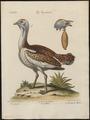 Otis tarda - 1700-1880 - Print - Iconographia Zoologica - Special Collections University of Amsterdam - UBA01 IZ17200011.tif