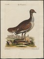 Otis tarda - 1700-1880 - Print - Iconographia Zoologica - Special Collections University of Amsterdam - UBA01 IZ17200013.tif