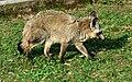 Otocyon megalotis Dvur zoo 2.jpg
