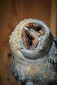 Owls @ Dragonheart, Enschede (9549534298).jpg