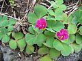Oxalis purpurea (Habitus) 2.jpg