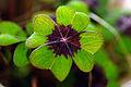 Oxalis tetraphylla Blatt.jpg