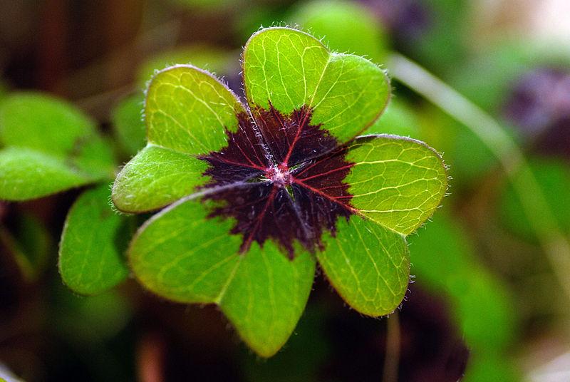 Datei:Oxalis tetraphylla Blatt.jpg