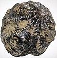 Oyster fossil (Jurassic (?); Bambamarca, Cajamarca, Peru) 3 (49036516727).jpg