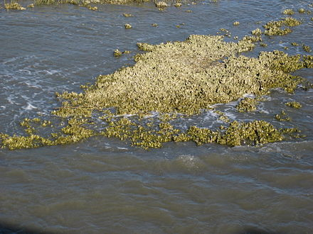 Oyster reef at about mid-tide off fishing pier at Hunting Island State Park, South Carolina Oyster reef Hunting Island SC.jpg