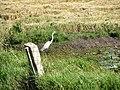 Pássaro em Viamão 002.JPG