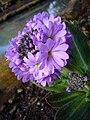 P1130525 Primula denticulata Drumstick primula (Primulaceae).JPG