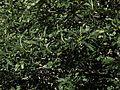 P20140310-0073—Aesculus californica—Old Briones Road (13205430664).jpg