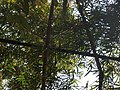 P62 Lawachara National Park, In Moulovibajar, Bangladesh.jpg