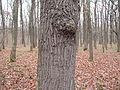 PP Černý orel, dub, kmen.jpg