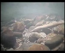 Fitxer:Pacific lamprey digging a nest.webm