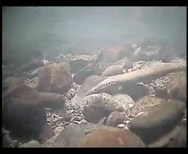 Bestand:Pacific lamprey digging a nest.webm