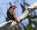 Painted Firetail 5 (20127777169).jpg