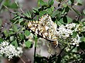 Painted Lady (38036447124).jpg