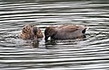 Pair of Gadwall (6795614917).jpg