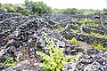 Paisagem Protegida de Interesse Regional da Cultura da Vinha da ilha do Pico, campos de vinha, Santa Luzia, Concelho de São Roque, Açores, Portugal.JPG