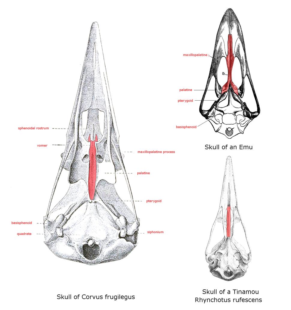 PaleognathNeognath