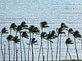 Palm Trees On The Coast Alden Cornell Molokai Hawaii (83753955).jpeg