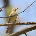 Palm Warbler (Setophaga palmarum) (34186316441).jpg